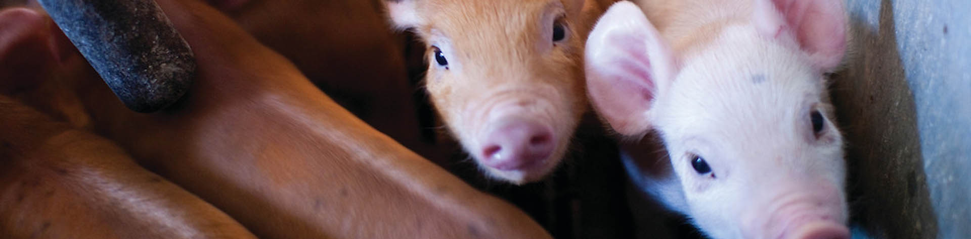 two baby pigs looking at the camera